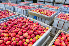 Wooden crates full of ripe apples during the annual harvesting period Royalty Free Stock Photos