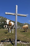 Wooden cross and cows on the mountain Stock Photos