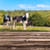 Wooden deck, cows in background Stock Photography