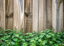 Wooden fence behind patchouli plant Stock Photo
