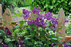 Wooden fence and clematis Stock Image