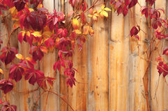 Wooden fence and climber Royalty Free Stock Images