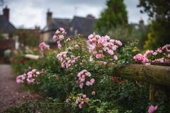 A wooden fence, entwined with flowering bushes. Picturesque French village Beuvron-en-Auge in the background