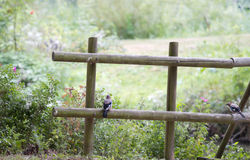 Wooden fence with Eurasian Jay. Or Garrulus glandarius and blooming wild rose bushes in summer in the country Stock Photo