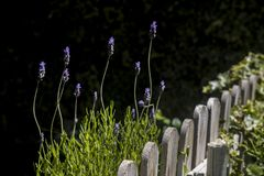Wooden fence in the garden and lavender plants. With blue flowers royalty free stock photos