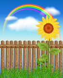 Wooden fence on green grass with sunflower Royalty Free Stock Photos
