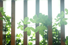 Wooden fence and green leaf in growth Royalty Free Stock Image