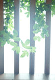 Wooden fence and green leaf in growth Stock Images