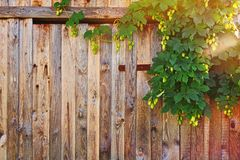 Wooden fence with hop bush. Old weathered fence made of timber now partly covered by hop bush climbing to the up with fresh cones. Rural style background with Stock Images