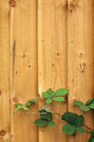 Wooden fence with leaves. Wooden fence background with blackberry leaves royalty free stock image