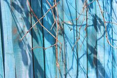 Blue painted wooden fence with dry branches as background. Wooden fence painted blue paint with dry bare branches on sunny day Royalty Free Stock Image
