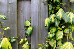 Wooden fence with a plant Royalty Free Stock Photo