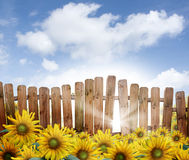 Wooden fence in sunflowers. A wooden fence with the sun peeking through one of the slats in a field of sunflowers royalty free stock photo