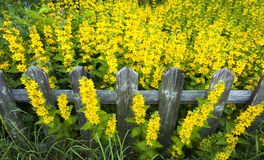 Wooden fence surrounded by yellow flowers Royalty Free Stock Image