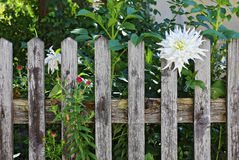Wooden fence with white dahlia Royalty Free Stock Image