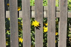 Wooden fence with yellow flowers Royalty Free Stock Photography