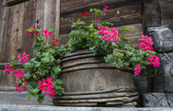 Wooden Flower pot with Pelargonium Stock Image