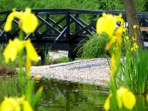 Wooden foot bridge over small pond with blurry yellow iris. Selective focus of wooden foot bridge over small green pond scene with blurry yellow iris in the royalty free stock photography