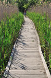 Wooden footpath. Through green cane in park of nature Stock Images