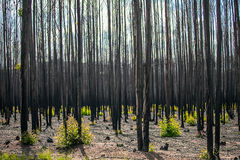Wooden after a forest fire in South Africa. After a forest fire in South Africa Royalty Free Stock Images