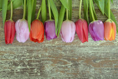 Wooden grey brown empty copy space background with colorful tulips. Wooden grey brown empty copy space background with fresh colorful spring tulips. In a row Royalty Free Stock Photo
