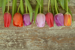 Wooden grey brown empty copy space background with colorful tulips. Wooden grey brown empty copy space background with fresh colorful spring tulips. In a row Royalty Free Stock Image