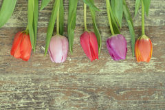 Wooden grey brown empty copy space background with colorful tulips. Wooden grey brown empty copy space background with fresh colorful spring tulips. In a row Stock Images