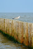 Wooden groyne and seagull. Royalty Free Stock Image