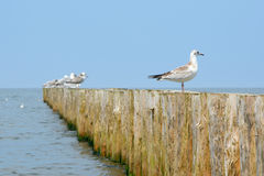 Wooden groyne and seagulls. Royalty Free Stock Photos