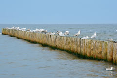 Wooden groyne and seagulls. Royalty Free Stock Photography