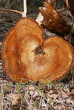 Wooden Heart (portrait format). A fall tree shows a heart.nnThis picture expresses deep love. A tree is associated with strength. At the same time, it is showing Royalty Free Stock Image