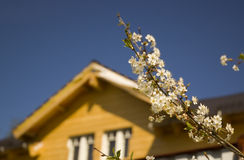 Wooden house. And bloom apple tree stock photo