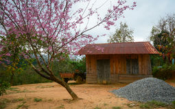The wooden house with cherry flower tree in Dalat, Vietnam Royalty Free Stock Photo