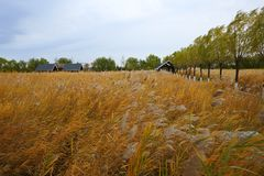 Wooden house and reeds, autumn. Wood house and reeds in Expo Garden, Beijing , China Royalty Free Stock Photography