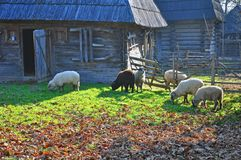 Wooden house sheep Stock Photography