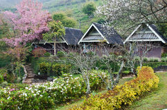 Wooden hut in cherry blossom bloom Royalty Free Stock Image