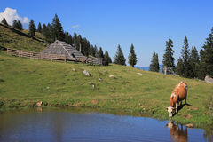 Wooden hut and drinkig cow, Slovenia Royalty Free Stock Photo