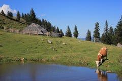 Wooden hut and drinkig cow, Slovenia. Wooden herder's hut and drinking cow scenery, Velika planina pastureland, Kamnik and Savinja Alps, Slovenia Royalty Free Stock Photo