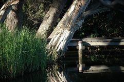 Wooden Jetty over a river with paperbarks. royalty free stock photography