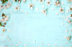 Wooden light blue background decorated with cherry flowers Royalty Free Stock Photos