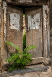 Wooden locked gate and sapling Royalty Free Stock Image
