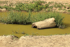 Wooden log in swampy pond with cyanobacteria. In the middle of dusty landscape stock image
