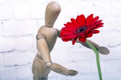 Wooden mannequin with red gerbera flower. Wooden mannequin trying to represent human movements in moving actions isolated on a white background. Anatomical model royalty free stock images
