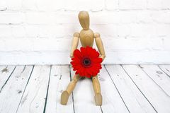 Wooden mannequin with red gerbera flower. Wooden mannequin trying to represent human movements in moving actions isolated on a white background. Anatomical model royalty free stock photography