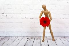 Wooden mannequin with red gerbera flower. Wooden mannequin trying to represent human movements in moving actions isolated on a white background. Anatomical model royalty free stock image