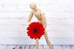 Wooden mannequin with red gerbera flower. Wooden mannequin trying to represent human movements in moving actions on a white background. Anatomical model hugs a royalty free stock photos