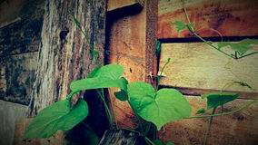 Wooden old cabin door with creepers Royalty Free Stock Images