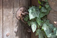 Wooden old door and rusty padlock overgrown with ivy.  Royalty Free Stock Photo