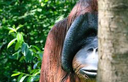 Wooden Orang Urang monkey portrait in a sunny day stock image