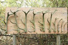Wooden panel with several deer antlers. Of different sizes stock images